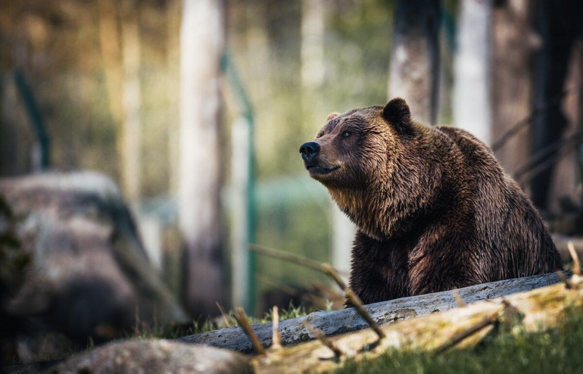 Produsele puterea ursului